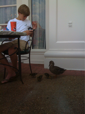 Enjoying Lunch on the Boardwalk with Tiny Ducklings & Their Mother