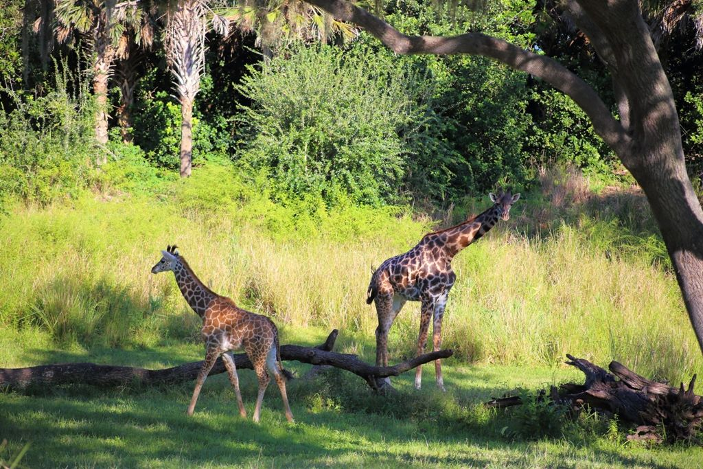 Giraffes (look at the baby!!)