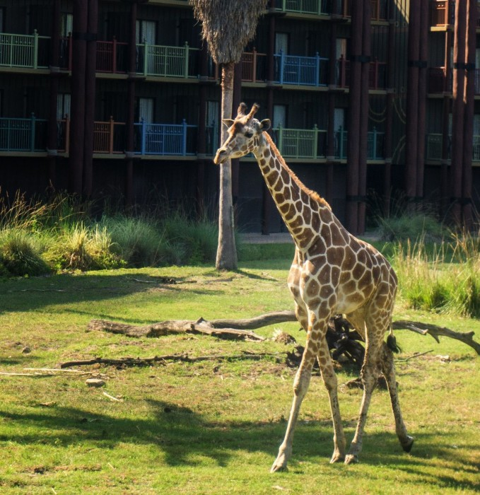 Giraffe running at the Animal Kingdom Lodge Savannah