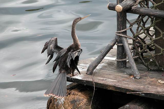 Anhinga drying its wings on a Tom Sawyer Island Raft in Frontierland. Photo: D. Fletcher