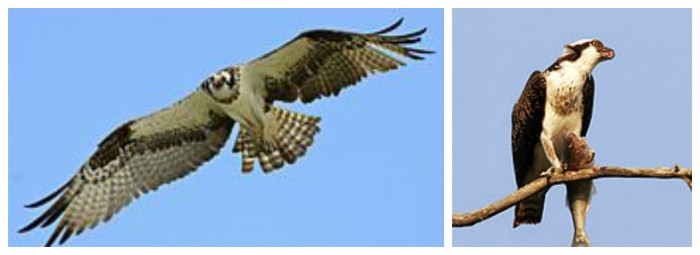 Left: The most common way you'll see an osprey, as they fly over. Right: an osprey with dinner in one talon. Photos: Wikipedia