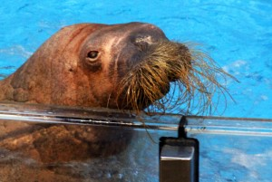 SeaWorld walrus from Sea Lion Stadium, similar to the ones on the Wild Arctic Tour. Photo by Thomas Cook