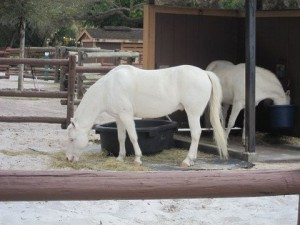 Get some love from Cinderella's ponies at Fort Wilderness.