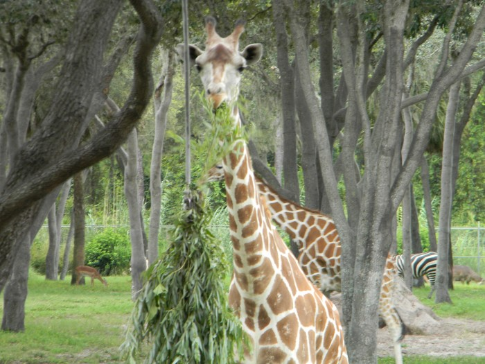 """A giraffe feeds on """"browse"""" strategically located to bring animals closer to resort guests."""