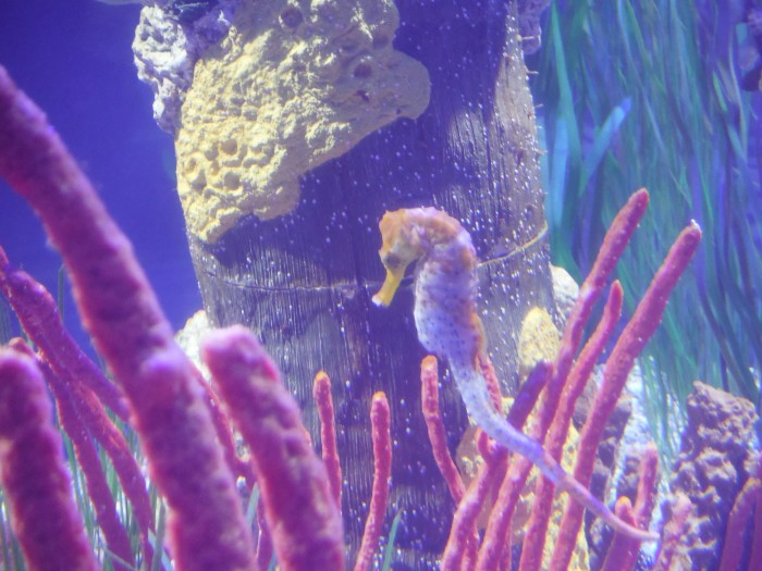 Seahorses are among the smaller creatures showcased in fish tanks on the first floor.